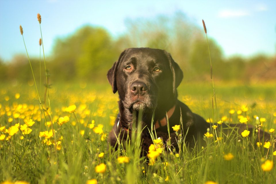 A black lab sits in a field waiting to eat his grain-free pet food.