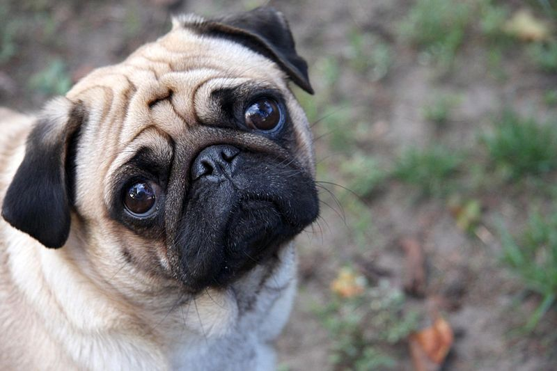This super cute sad pug wants you to know what you need to know to protect your pooch from the beneful recall