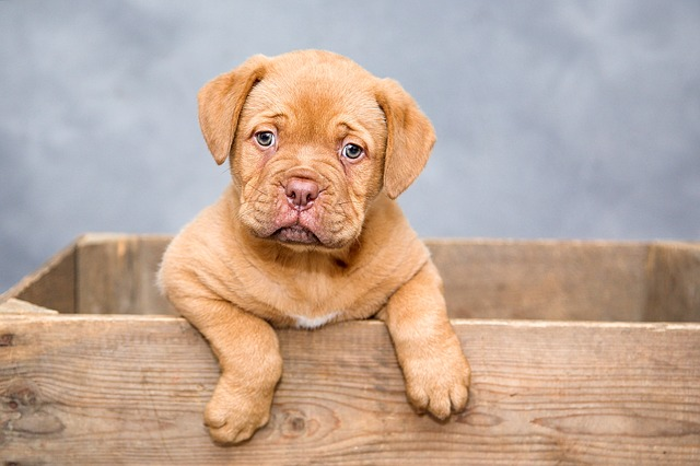 canine carry outs dogue-de-bordeaux-puppy-dogs-sweet-
