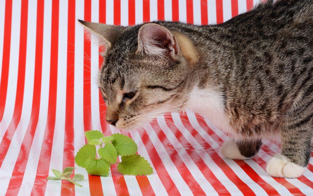 cat smelling the catnip