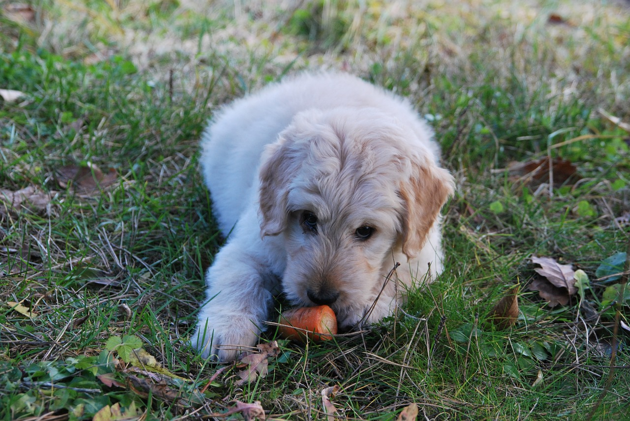 A puppy lying on the grass while trying to eat a half carrot