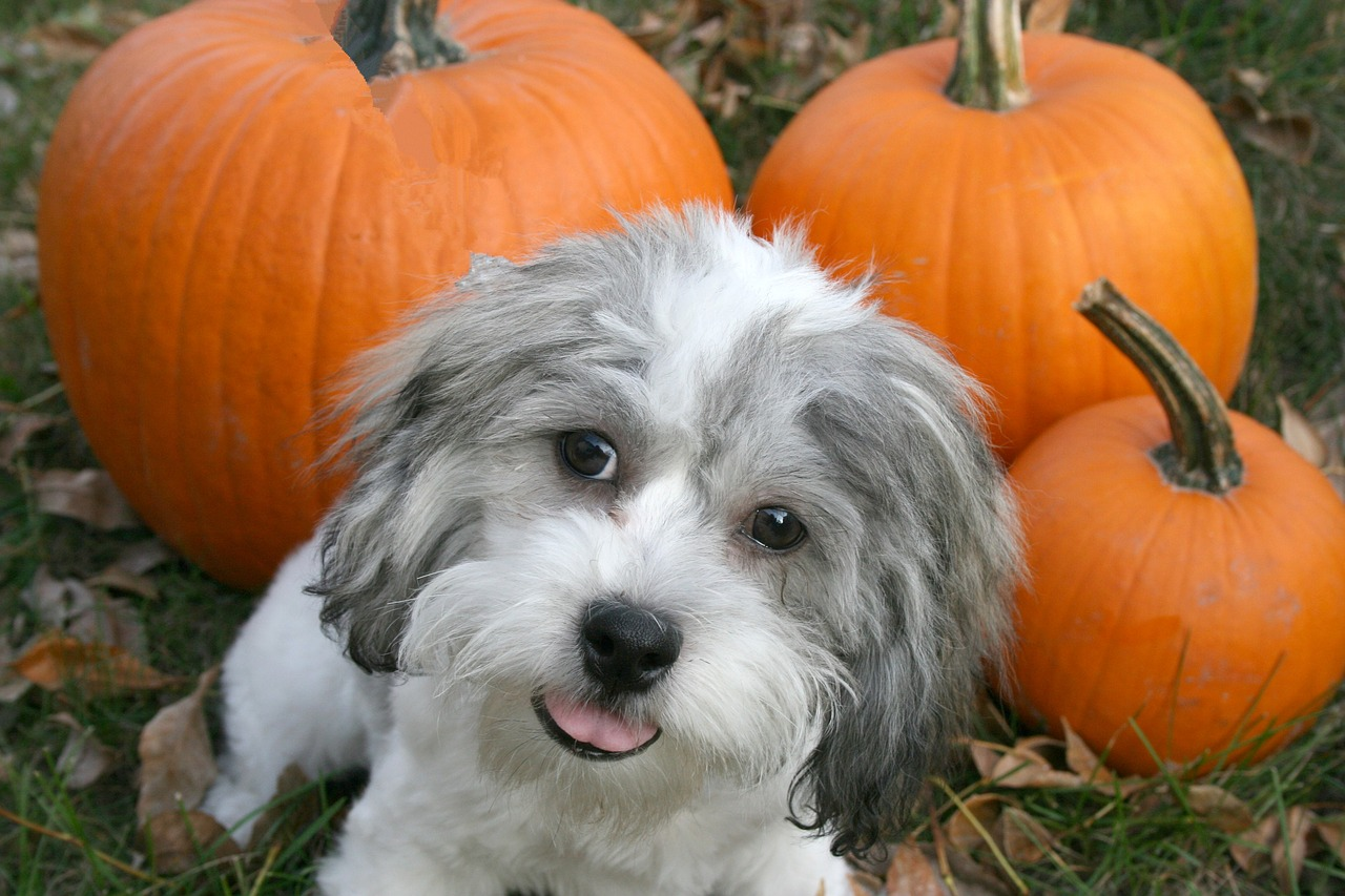 a grey and white long haired puppy lying on the grass with three pumpkins on his background