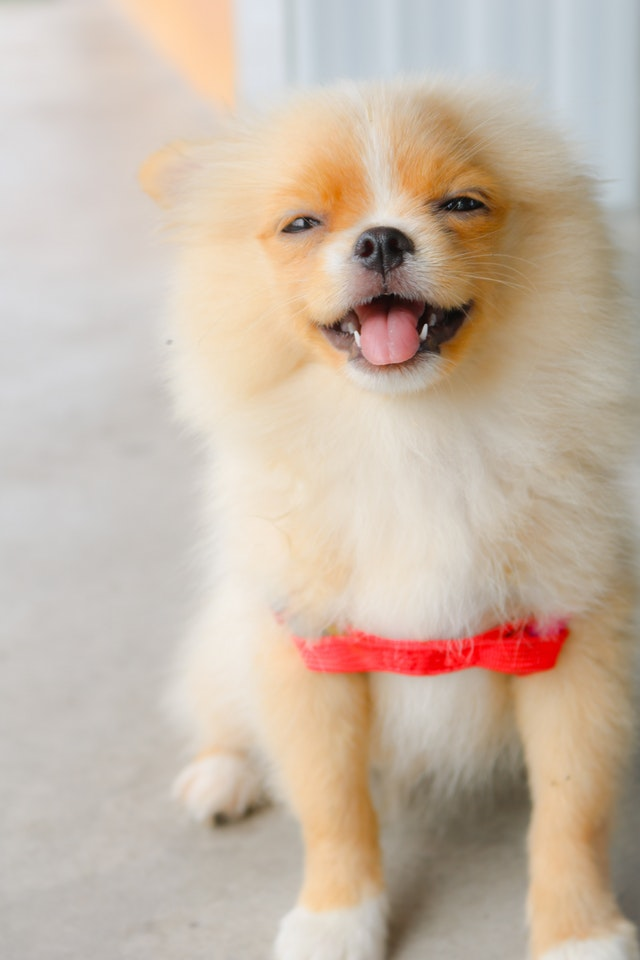 omeranian-puppy-