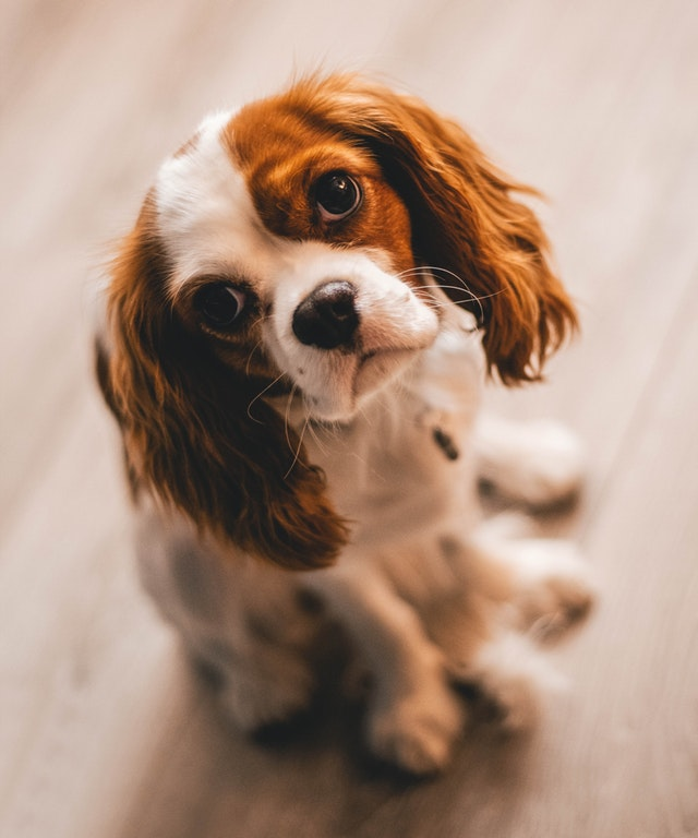 shallow-focus-photography-of-a-cavalier-king-charles-spaniel