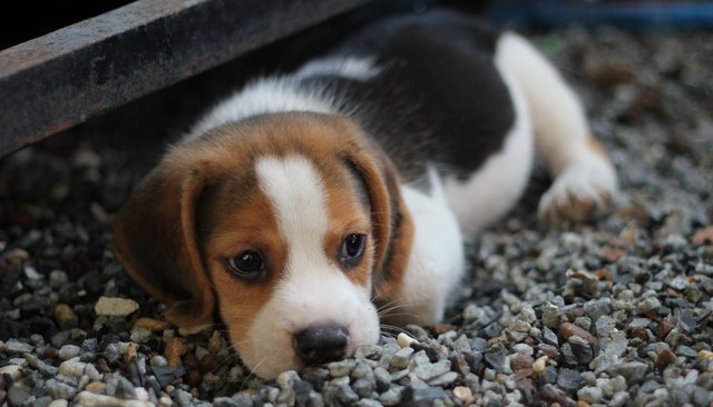 grain free dog food animal-beagle-canine-close-up